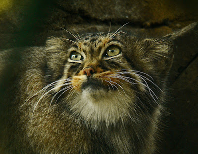 manul pallas's cat photo by muzina_shanghai