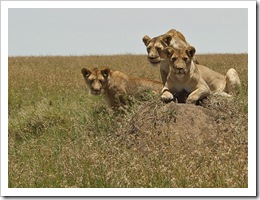 lion pictures - lions in the Serengeti National Park - photo by Catalpa 34 - 1