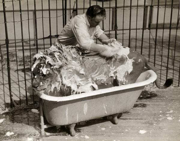 circus lion being washed 1940
