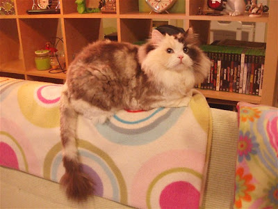 Mocha RagaMuffin cat at the time of her adoption