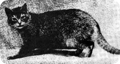 early Abyssinian cat