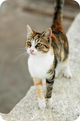 Aegean cat from the Greek islands