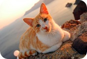Aegean cat from the Greek islands 2
