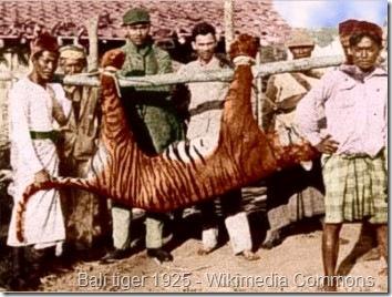 balinese tiger 1925