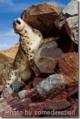 Snow Loepard marking territory