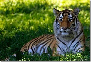 amur tiger wallpaper 1