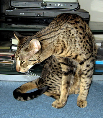 Kadiz Jerah F3B Savannah Cat