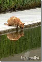 cat drinking from a pond in Spain