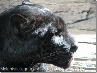black melanistic jaguar or black panther