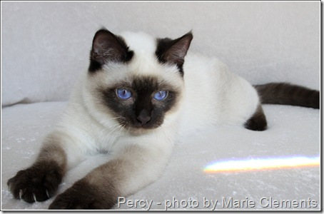 Applehead Siamese cat Percy