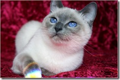 blue-point-traditional-siamese-cat
