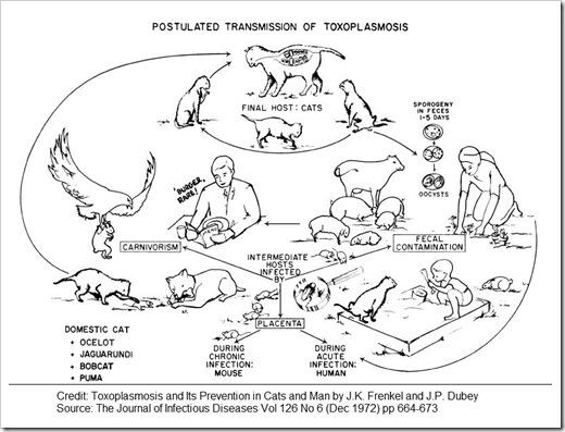 toxoplasmosis transmission