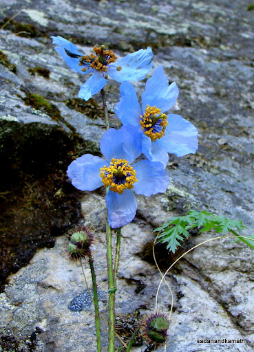 Himalayan blue poppy - on the jungle trek to Tolma.