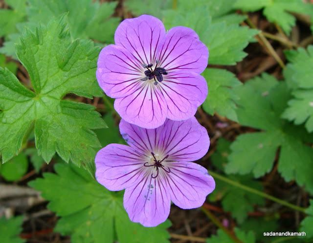 A pair of Wallich Geranium - Geranium Wallichianum. On way to Belta.