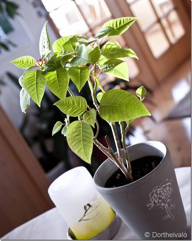 morskøkkenplante