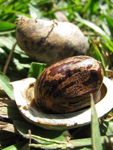 Semente da Seringueira. Minist�rio da Agricultura em Porto Velho, Rond�nia