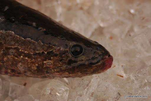 potomac river snakehead
