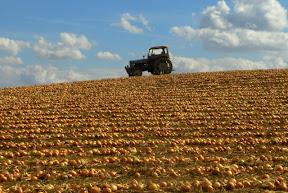 campo de cebollas en Yunclillos