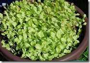 Lettuce Gone Wild