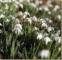 snow-drops-spring