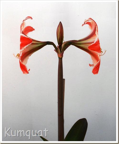amarilis 6