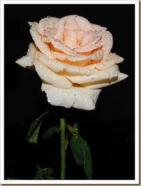 Rosa Orvalhada 2