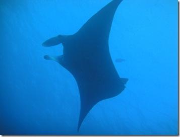ハワイ島のマンタナイトダイビング