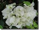 ハワイ島の花