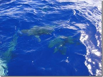 サメ・ツアー・サメと泳ぐ・ハワイ