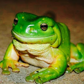Our big green friendly visitor by Natalie Woodhead - Animals Amphibians ( frog, green,  )