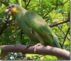papagaio-xxxvi
