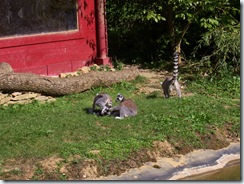 2010.09.04-035 lémuriens