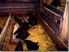 2010.09.04-036 conservatoire de poules anciennes