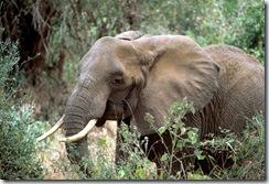 Éléphant de savane d'Afrique