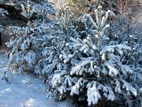 Smrečice ob travniku pred Rogatcem pod snežnim pokrovom
