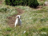 Ovca med vzponom k čredi
