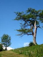 Trdoživo drevo na Kalu
