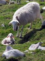 Ovca vodnica z mladim jagnjem