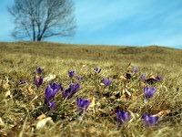 Žafran na travnikih pod Ojstrico
