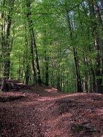 Bukov gozd je zares že ozelenel