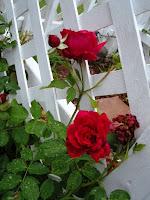 foto de SneIrish's Rosa Climbing Rose Rhode Island Red Folia