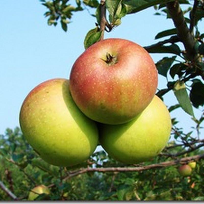 Y como postre para el ácido úrico, manzana