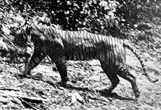 Javan Tiger