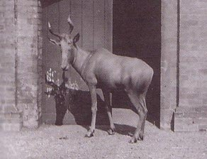 Bubal Hartebeest
