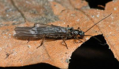 Nemocapnia carolina stonefly