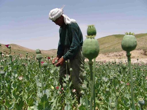 opium+harvest.JPG