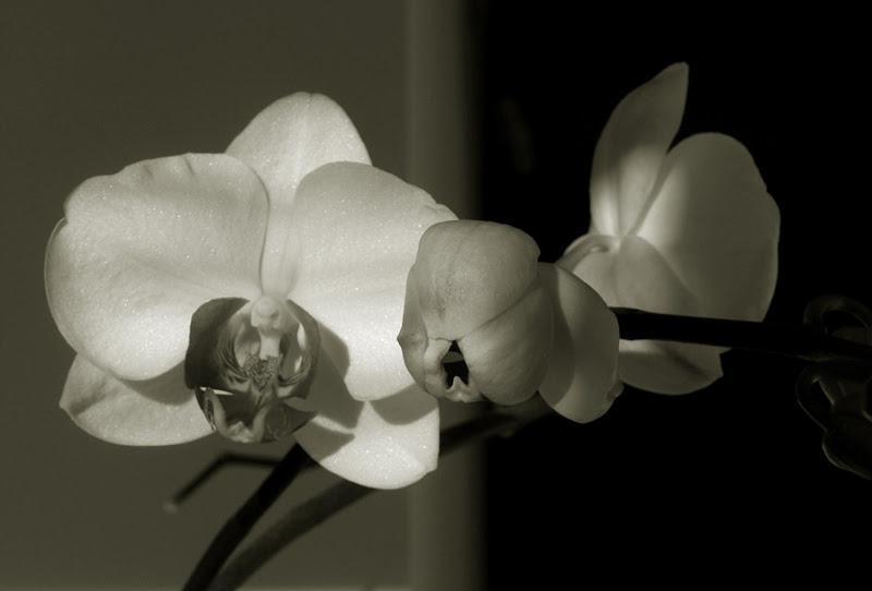 425 orquídea