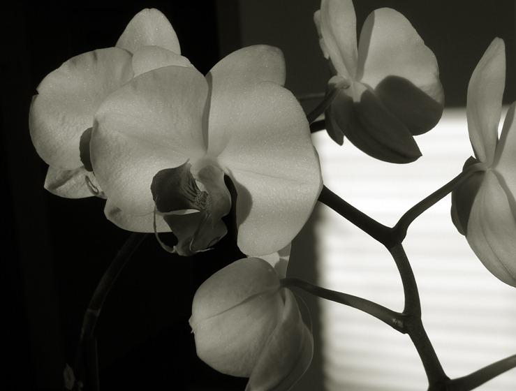 498 orquídea