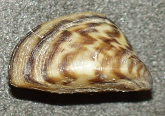 zebra-mussel