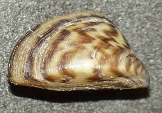zebra-mussel
